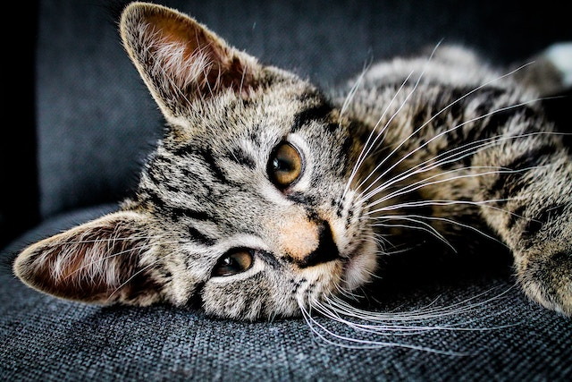 横たわる猫
