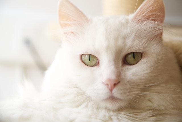 前を見る白猫
