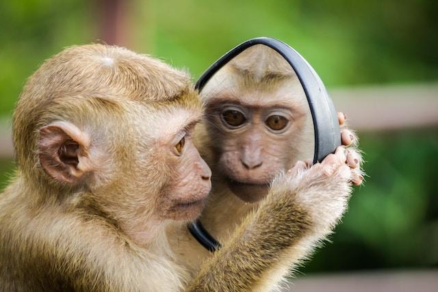 鏡を見るサル