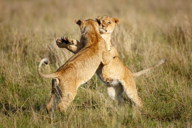 雌ライオンのケンカ